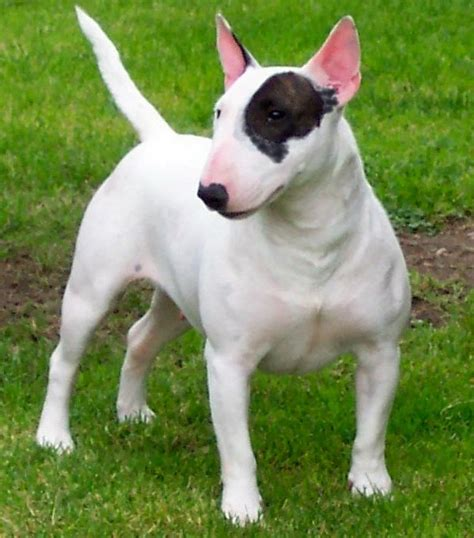 bull terrier miniature bull terrier