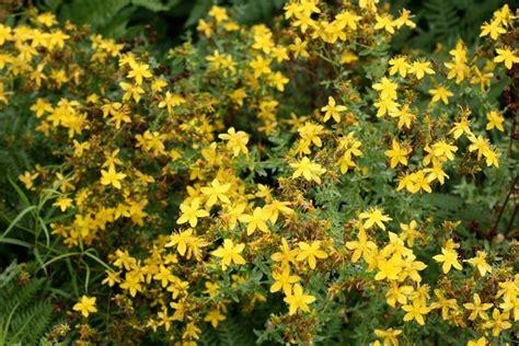 iperico fiore iperico hypericum hypericum perenni iperico