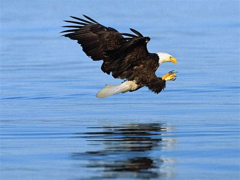 Bald Eagle Wallpapers   Animals Library