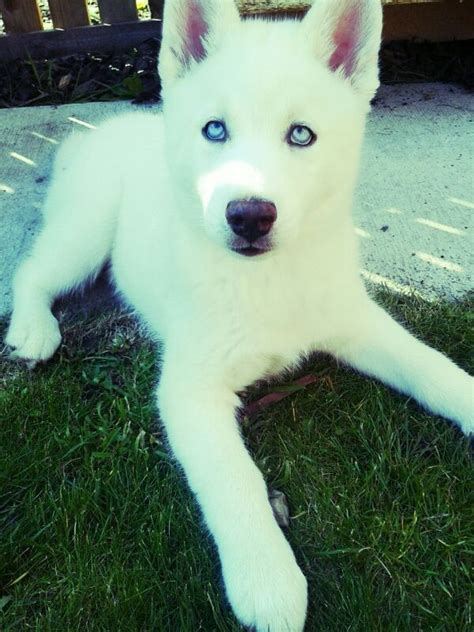 white husky puppy stunning 11 week kc reg white husky for sale stockton on tees county durham