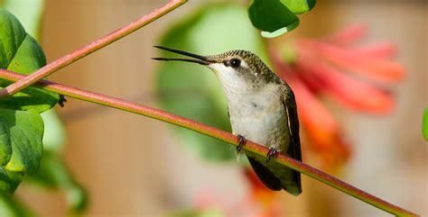 audubon gift center ruby throated hummingbird