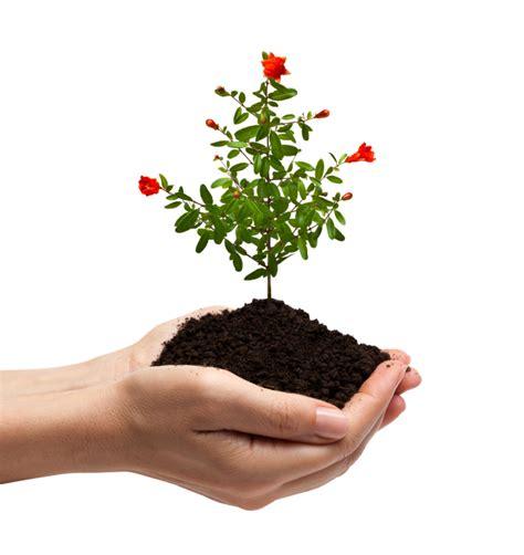 Granatapfel Garten Pflanzen by Granatapfel Pflanzen 187 Ein Kleiner Umfangreicher Ratgeber