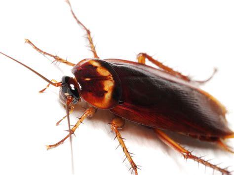 blatte volanti scarafaggi e blatte kollant