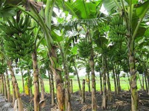 mudah budidaya menanam pohon pisang  cepat