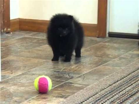 all black pomeranian puppies black pomeranian puppies