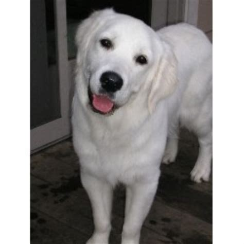 snowy paws golden retrievers snowy paw retrievers golden retriever breeder in west chicago illinois listing id