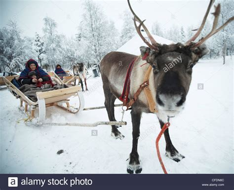 where to buy a sled and reindeer for the roof of your house and in reindeer sleigh kakslauttanen ivalo lapland stock photo royalty free image