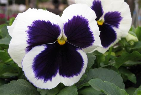 piante con fiori invernali 10 piante resistenti al freddo fioriscono in inverno