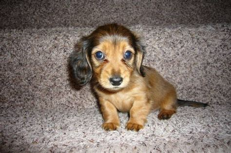 short haired dorkie mixes dorkie dachshund yorkie mix info temperament puppies