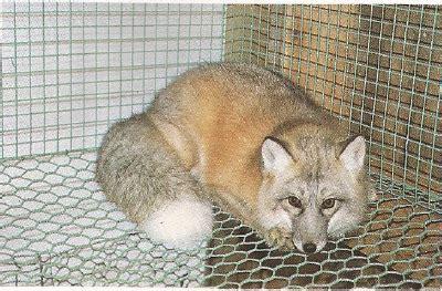 golden island fuchs arctic fox at russian zoo topics on domestic