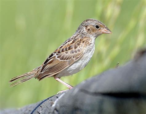 front side back juvenile juv back eating close ups close ups 2 flying grasshoppersparrow