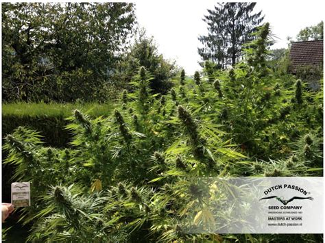 grow cannabis outdoors the easy way