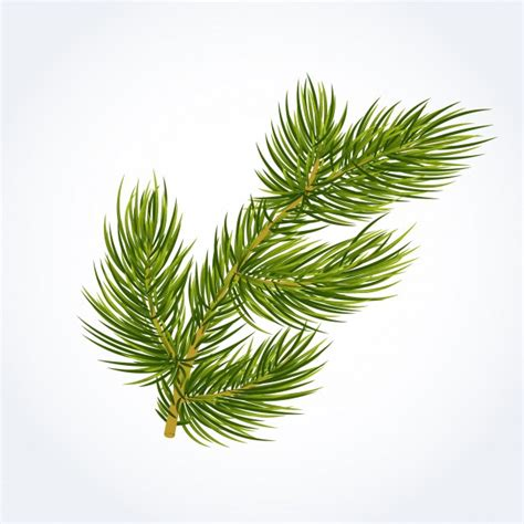 fir green green fir tree twig vector free download