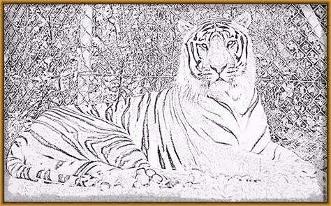 dibujos realistas para colorear dibujos de tigres de bengala para imprimir archivos