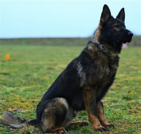 k9 breeds k9 dogs for sale breeds picture