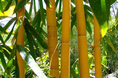 wallpaper daun bambu jenis jenis bambu hias lengkap dengan wallpaper gambar bambu