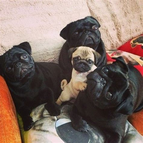 black pug names 17 best ideas about pug names on pugs images