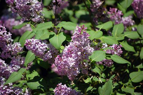 lilacs flowers lilac flowers alegri free photos highres