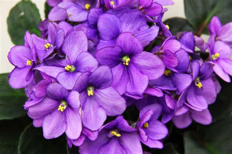 A Violet by How To Root An Violet Leaf 6 Steps With Pictures