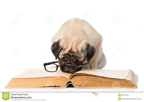 puppy 6 pug vs pug books pug puppy reading a book with glasses isolated on white
