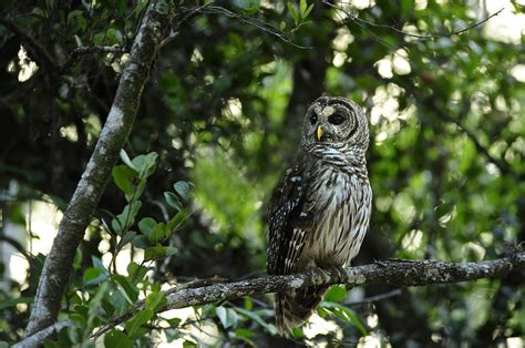 owl tree a barred owl sitting on a tree branch photograph by raul