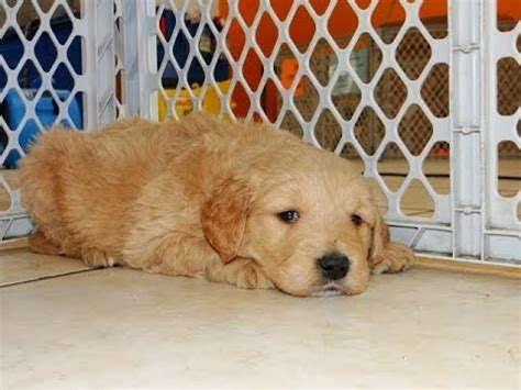 mini goldendoodles jacksonville fl golden doodle puppies for sale in rock