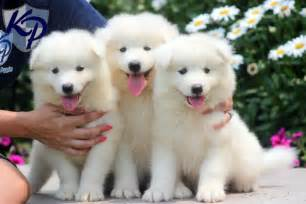 Samoyed Puppies For Sale In Oregon » Home Design 2017