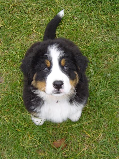 baby bernese mountain baby bernese mountain models picture