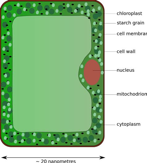 leaf palisade cell diagram palisade labeled cell diagram clipart best