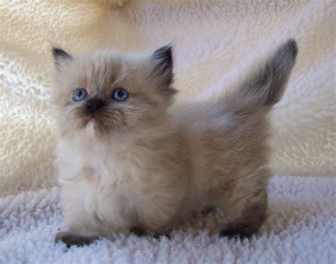 Munchkin Kittens For Adoption: Know The Features