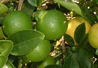 Jual Bibit Jeruk Nipis Samarinda jual bibit jeruk nipis di nusa tenggara barat agro sejahtera