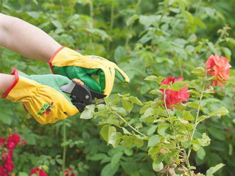 cara menanam bunga mawar agar subur dan berbunga pt