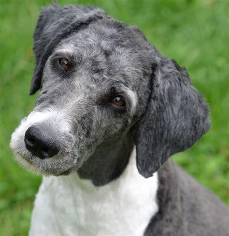 puppyspot havanese aussiedoodle breed information and characteristics puppyspot