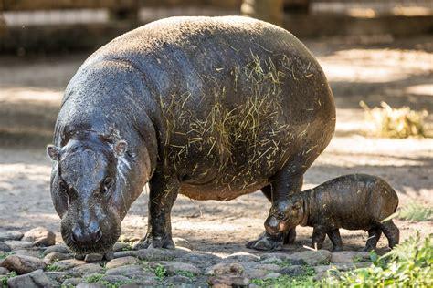 baby pygmy hippo pygmy hippo born at ta s lowry park zoo touring