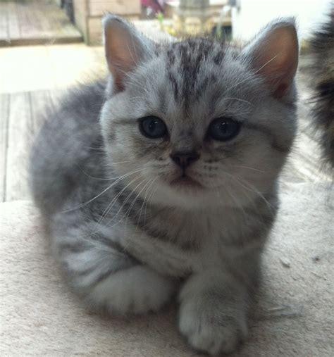British shorthair silver spotty kittens for sale   Bristol