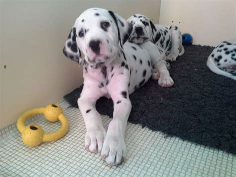 dalmatian puppies for sale california dalmatian puppies for sale image search results breeds picture