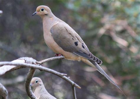 mourning dove zenaida macroura