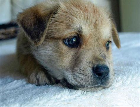 golden retriever rescue queensland basil adoption pending medium golden retriever x kelpie mix in qld petrescue