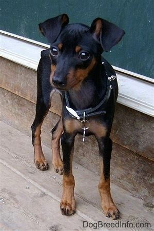 mini pin puppies miniature pinscher breed pictures 2