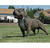 XXL American Bully And Pit Bull