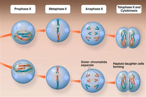 Meiosis II - Stages and Significance of Meiosis-II Cell ... Meiosis Stages