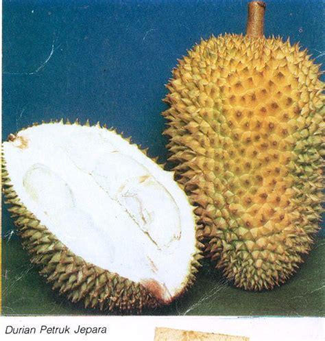 Bibit Durian Petruk Jepara bibit durian cv mutiaratani agrisarana