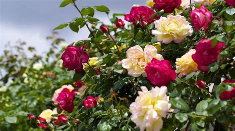 image for flowers rose flower images collection for free download