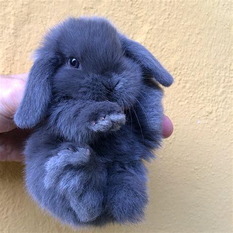 coniglio nano testa di prezzo cucciolino coniglioarietenano blu la stalla dei conigli