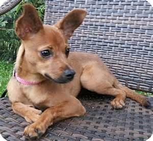 Miniature pinscher chihuahua mix puppy for adoption in new york new