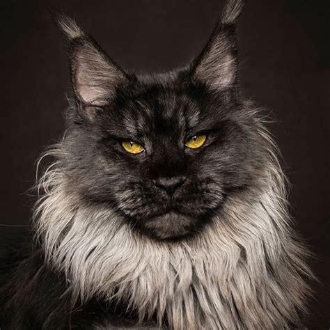 Black smoke Maine Coon cat   My furry babies   Pinterest