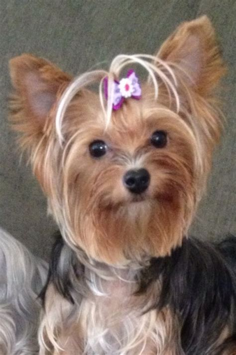 1 year yorkie pictures parti yorkie 1 year pets yorkie
