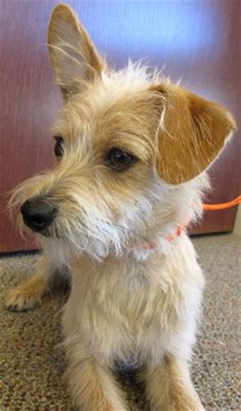 fox terrier and shih tzu mix fo tzu fox terrier mixed with shih tzu pups foxes toys and fox