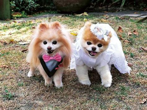 what are pomeranians known for boo memes