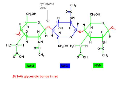 diagram of a polysaccharide polysaccharides structure www pixshark images